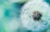 dandelion_flower-wide